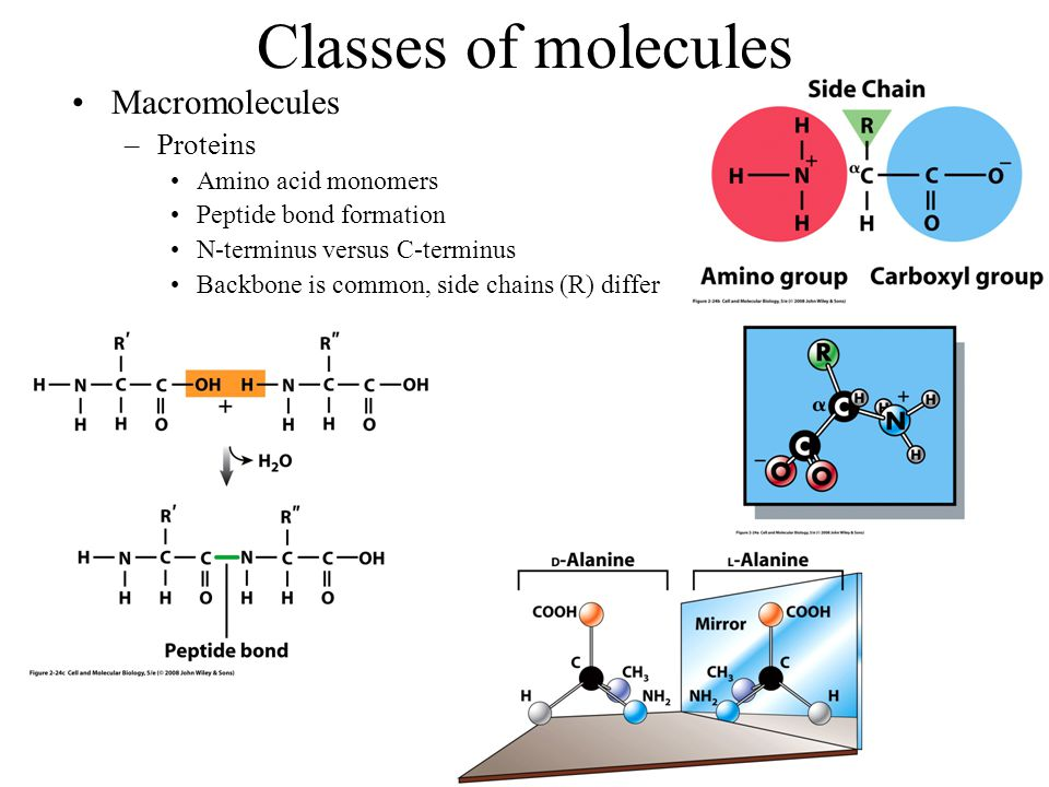 Classes of molecules Macromolecules –Proteins Amino acid monomers Peptide bond formation N-terminus versus C-terminus Backbone is common, side chains