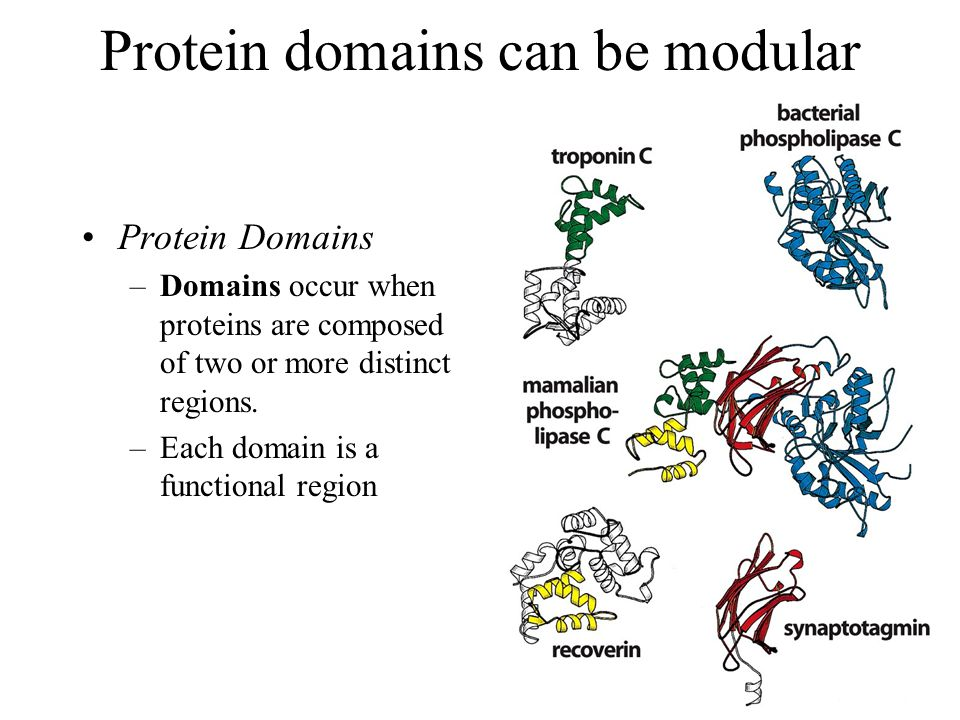 Protein domains can be modular Protein Domains –Domains occur when proteins are composed of two or more distinct regions. –Each domain is a functional
