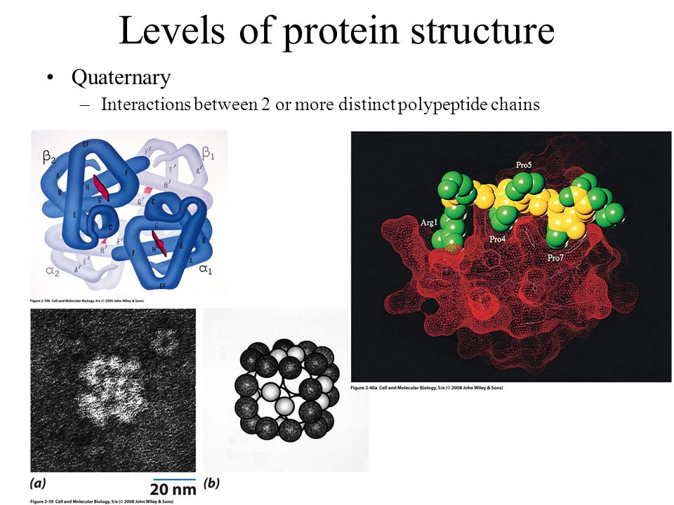 Levels of protein structure Quaternary –Interactions between 2 or more distinct polypeptide chains