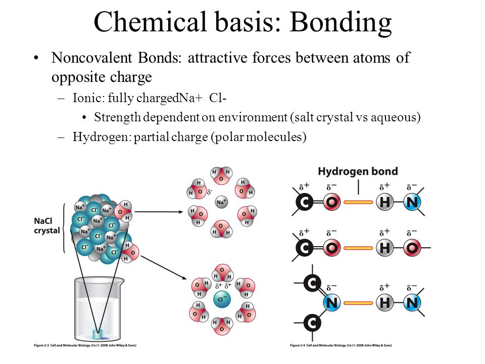 Chemical basis: Bonding Noncovalent Bonds: attractive forces between atoms of opposite charge –Ionic: fully chargedNa+ Cl- Strength dependent on envir