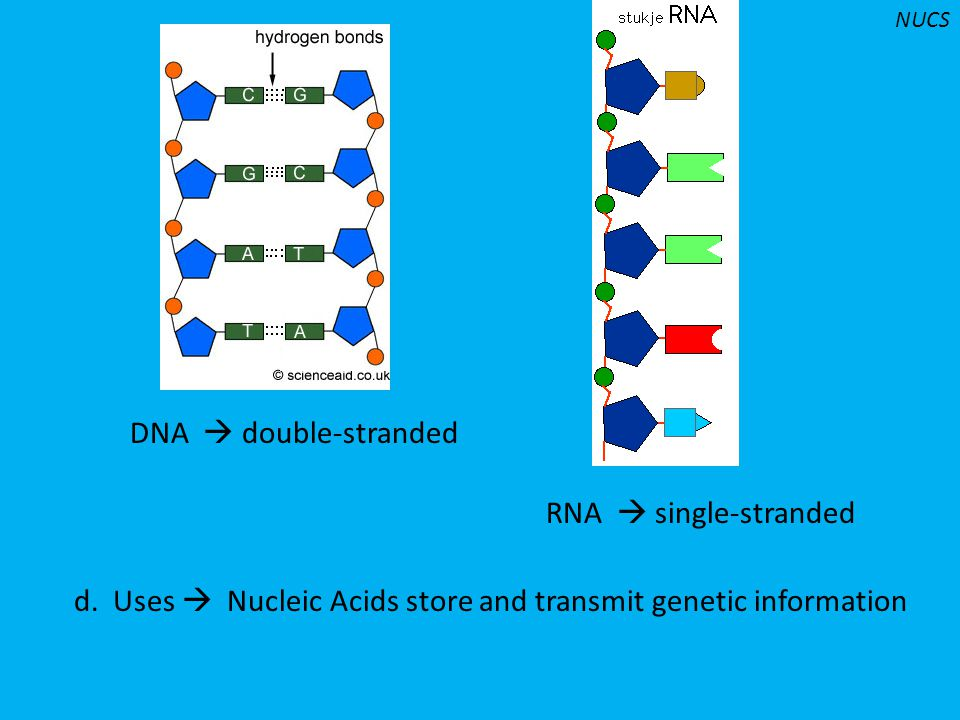 DNA  double-stranded RNA  single-stranded d. Uses  Nucleic Acids store and transmit genetic information