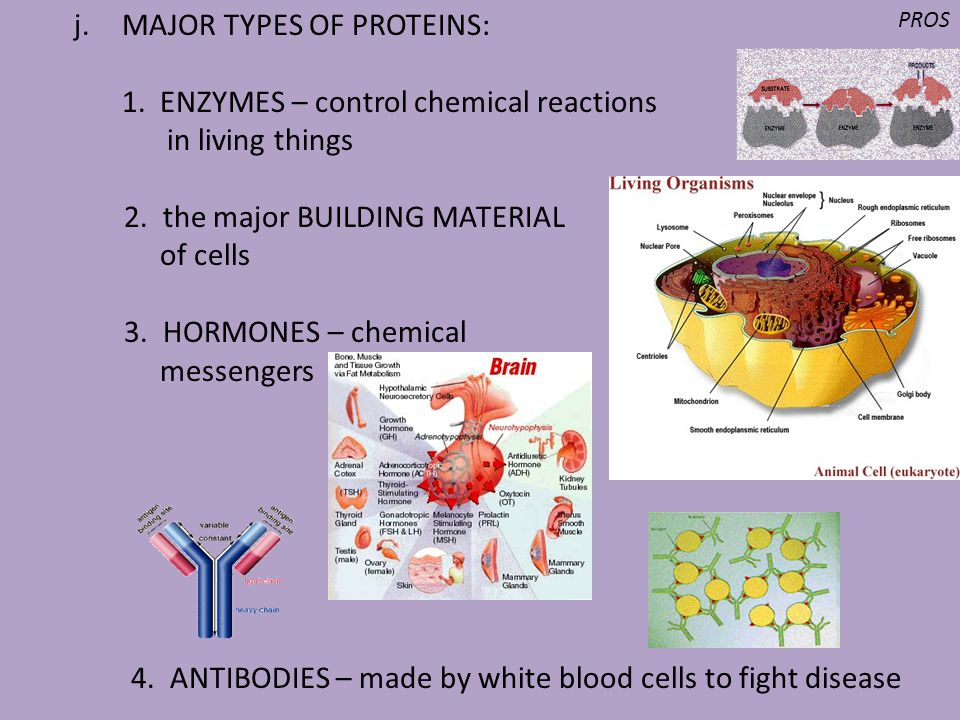 j.MAJOR TYPES OF PROTEINS: 1. ENZYMES – control chemical reactions in living things 2. the major BUILDING MATERIAL of cells 3. HORMONES – chemical mes