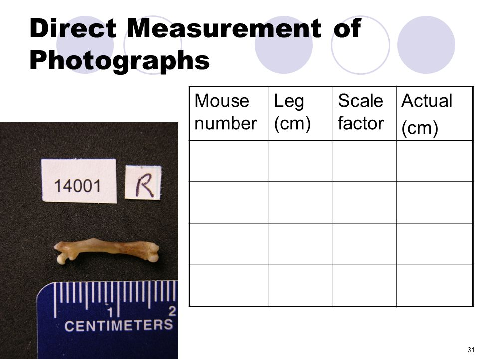 31 Direct Measurement of Photographs Mouse number Leg (cm) Scale factor Actual (cm)