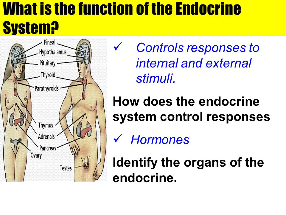 What is the function of the Endocrine System? Controls responses to internal and external stimuli. How does the endocrine system control responses Hor