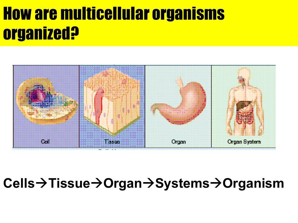 How are multicellular organisms organized? Cells  Tissue  Organ  Systems  Organism