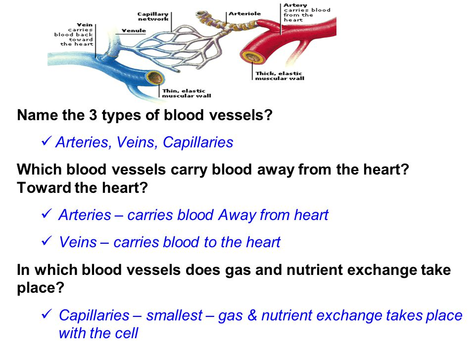 Name the 3 types of blood vessels? Arteries, Veins, Capillaries Which blood vessels carry blood away from the heart? Toward the heart? Arteries – carr