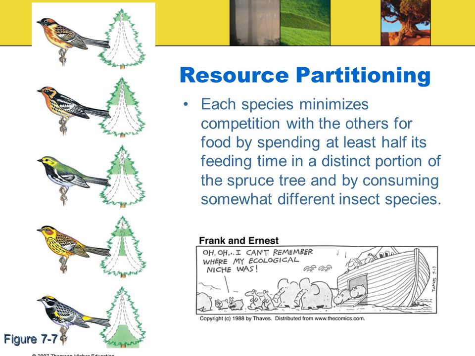 Resource Partitioning Each species minimizes competition with the others for food by spending at least half its feeding time in a distinct portion of the spruce tree and by consuming somewhat different insect species.