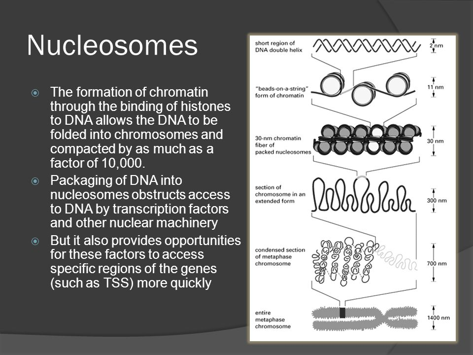 Nucleosome composition H2A, H2B, H3 and H4
