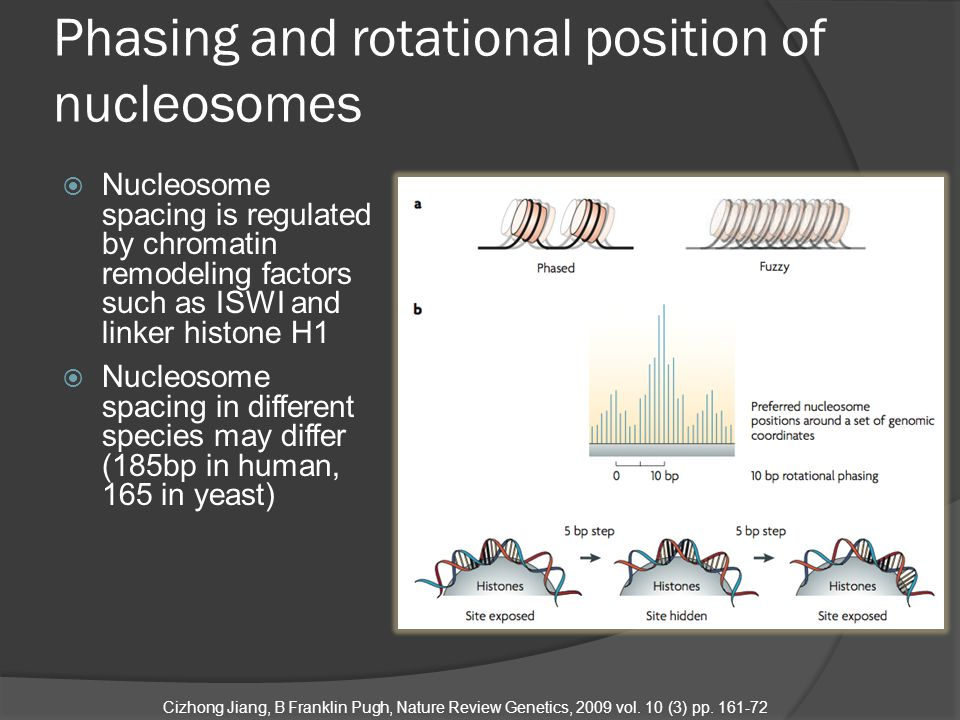  Nucleosome spacing is regulated by chromatin remodeling factors such as ISWI and linker histone H1  Nucleosome spacing in different species may differ (185bp in human, 165 in yeast)  Nucleosome position patterns in vivo is likely driven by a combination of random positioning and statistical positioning Cizhong Jiang, B Franklin Pugh, Nature Review Genetics, 2009 vol.