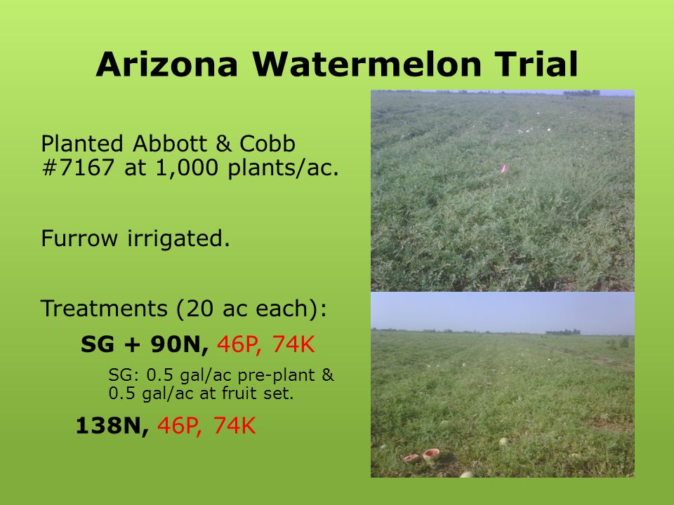 Arizona Watermelon Trial Planted Abbott & Cobb #7167 at 1,000 plants/ac. Furrow irrigated. Treatments (20 ac each): SG + 90N, 46P, 74K SG: 0.5 gal/ac