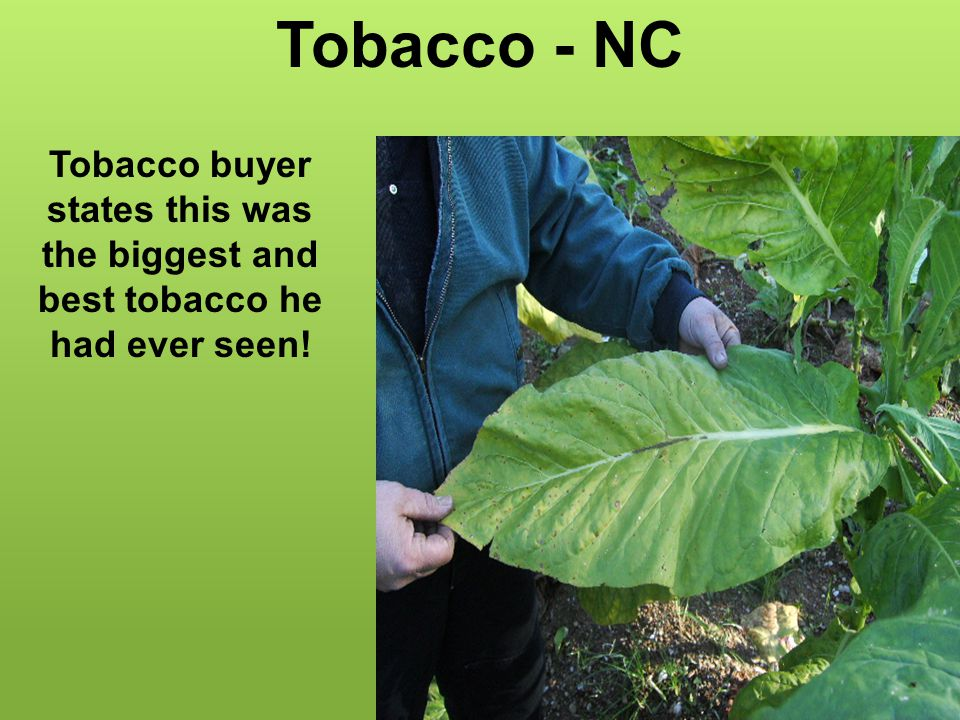Tobacco - NC Tobacco buyer states this was the biggest and best tobacco he had ever seen!