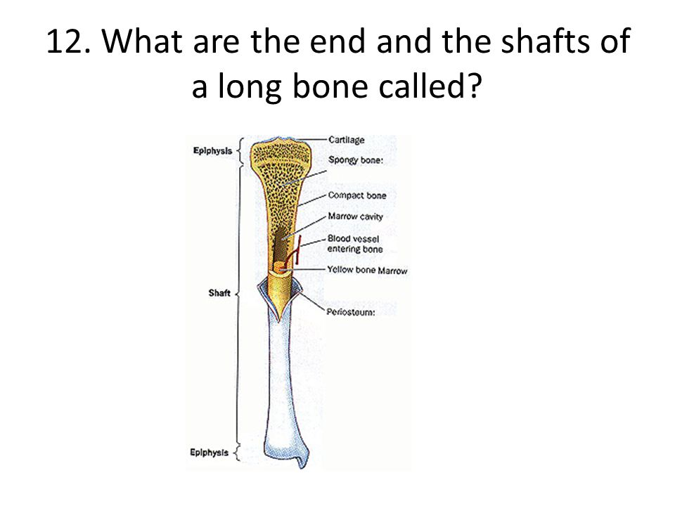 12. What are the end and the shafts of a long bone called?