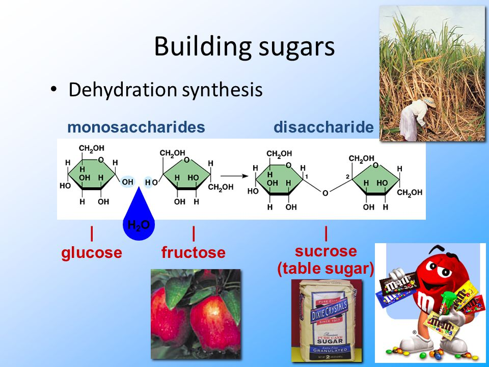 Building sugars Dehydration synthesis | fructose | glucose monosaccharides | sucrose (table sugar) disaccharide H2OH2O