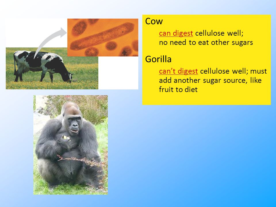 Cow can digest cellulose well; no need to eat other sugars Gorilla can't digest cellulose well; must add another sugar source, like fruit to diet
