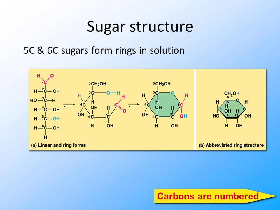 Sugar structure 5C & 6C sugars form rings in solution Carbons are numbered
