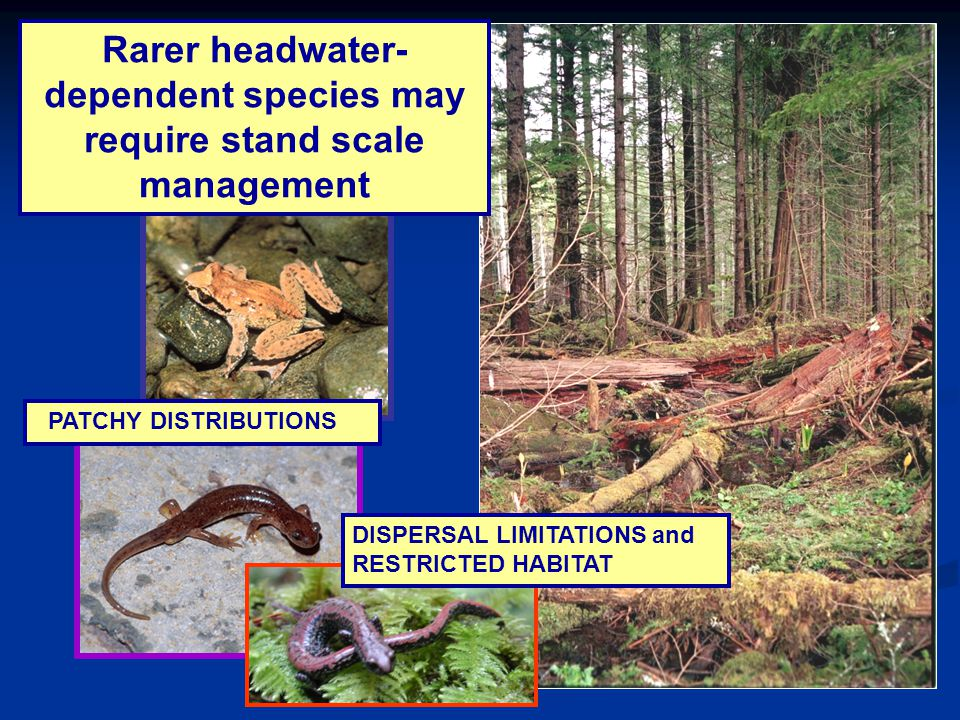Rarer headwater- dependent species may require stand scale management PATCHY DISTRIBUTIONS DISPERSAL LIMITATIONS and RESTRICTED HABITAT