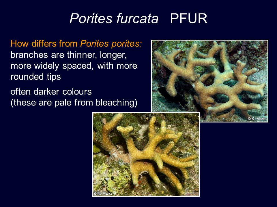 Porites furcata PFUR How differs from Porites porites: branches are thinner, longer, more widely spaced, with more rounded tips often darker colours (these are pale from bleaching)