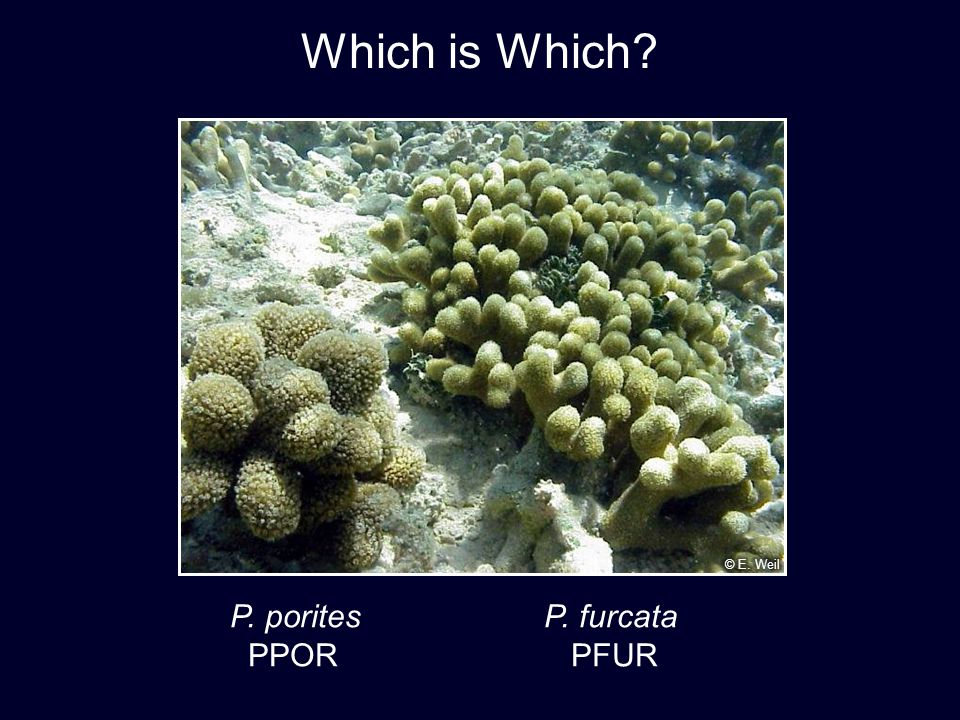 P. porites P. furcata PPOR PFUR Which is Which