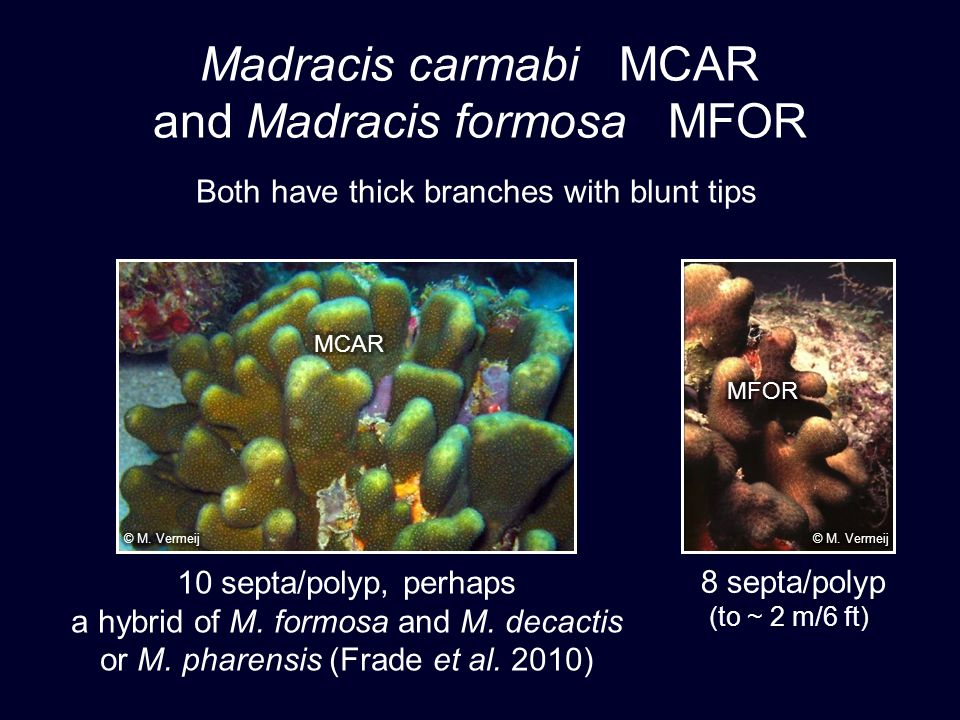 Madracis carmabi MCAR and Madracis formosa MFOR Both have thick branches with blunt tips 8 septa/polyp (to ~ 2 m/6 ft) 10 septa/polyp, perhaps a hybrid of M.