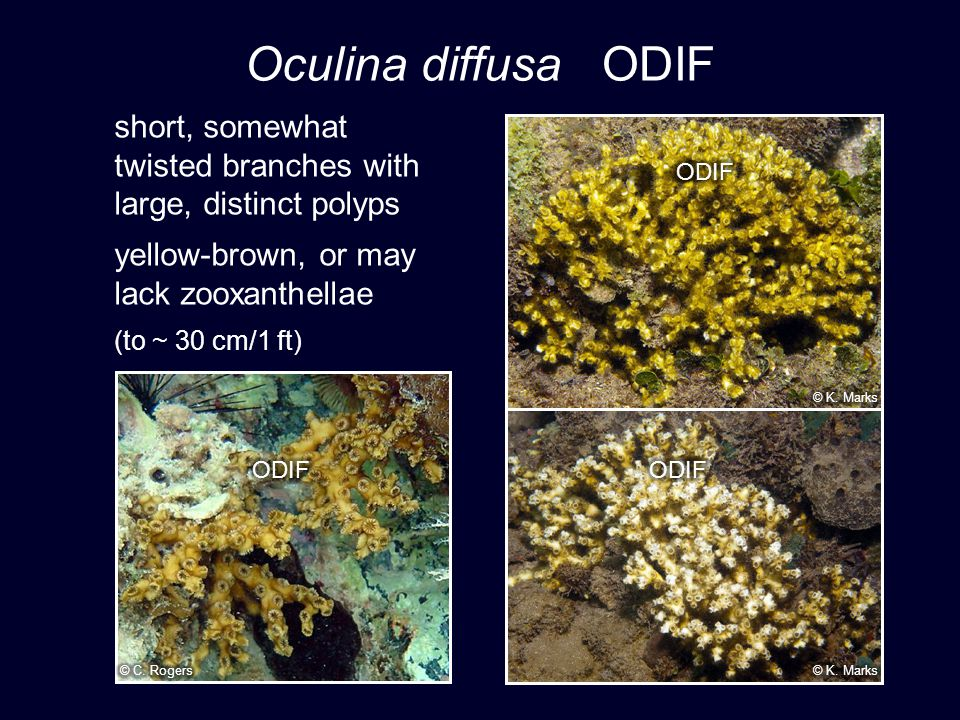 Oculina diffusa ODIF short, somewhat twisted branches with large, distinct polyps yellow-brown, or may lack zooxanthellae (to ~ 30 cm/1 ft)