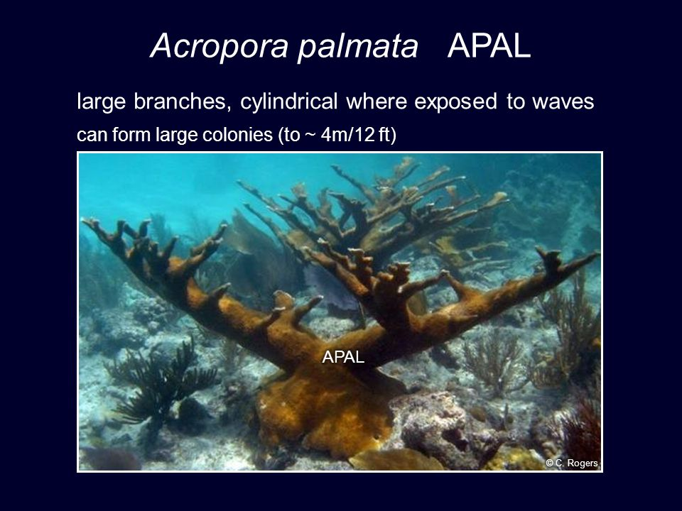 Acropora palmata APAL large branches, cylindrical where exposed to waves can form large colonies (to ~ 4m/12 ft)