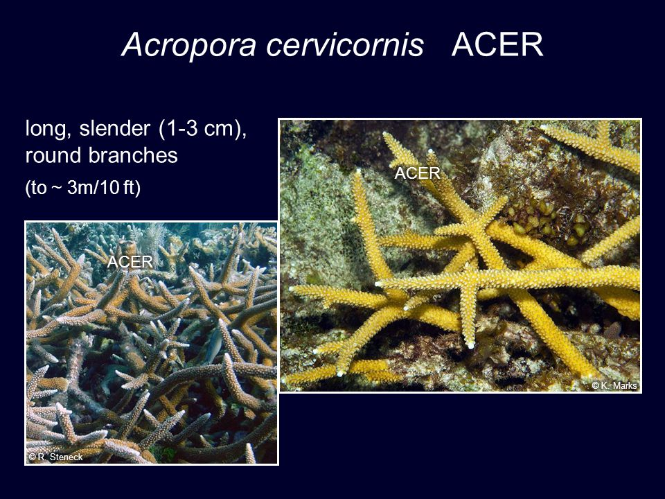 Acropora cervicornis ACER long, slender (1-3 cm), round branches (to ~ 3m/10 ft)