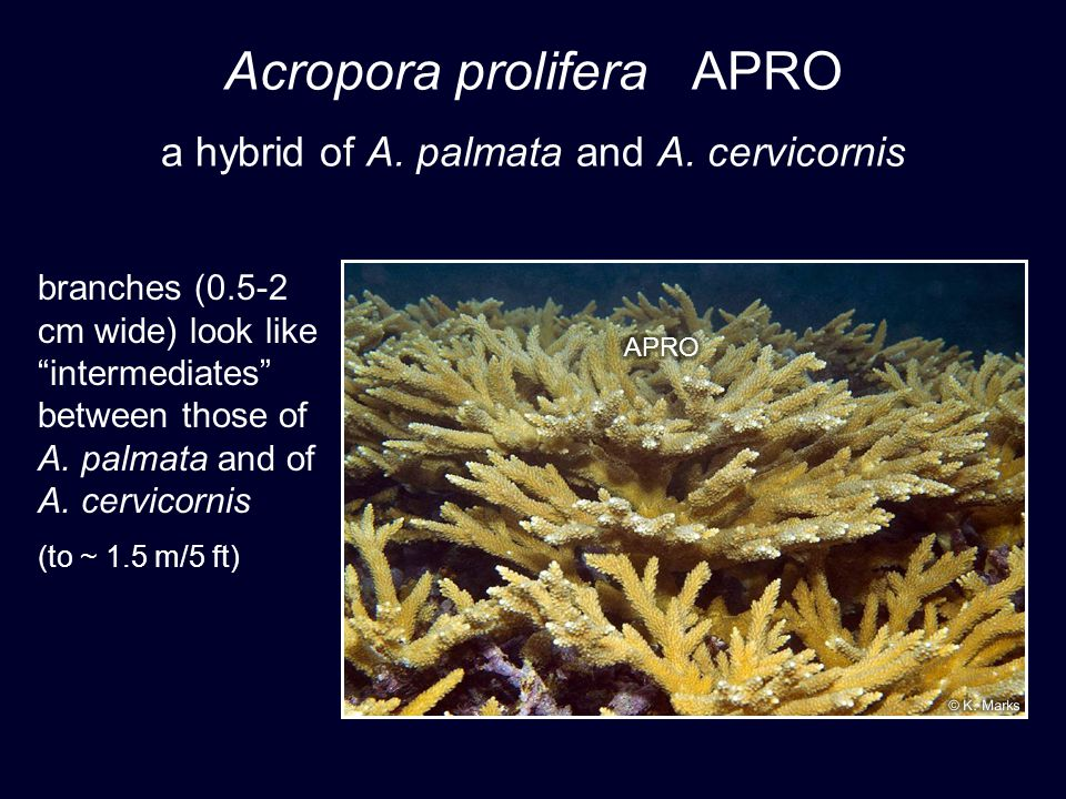 Acropora prolifera APRO a hybrid of A. palmata and A.