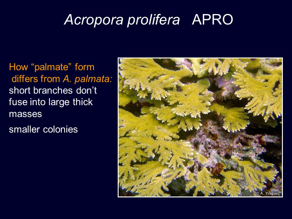 Acropora prolifera APRO How palmate form differs from A.