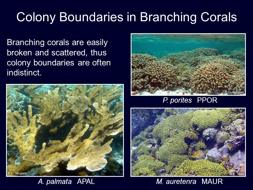 Colony Boundaries in Branching Corals Branching corals are easily broken and scattered, thus colony boundaries are often indistinct.