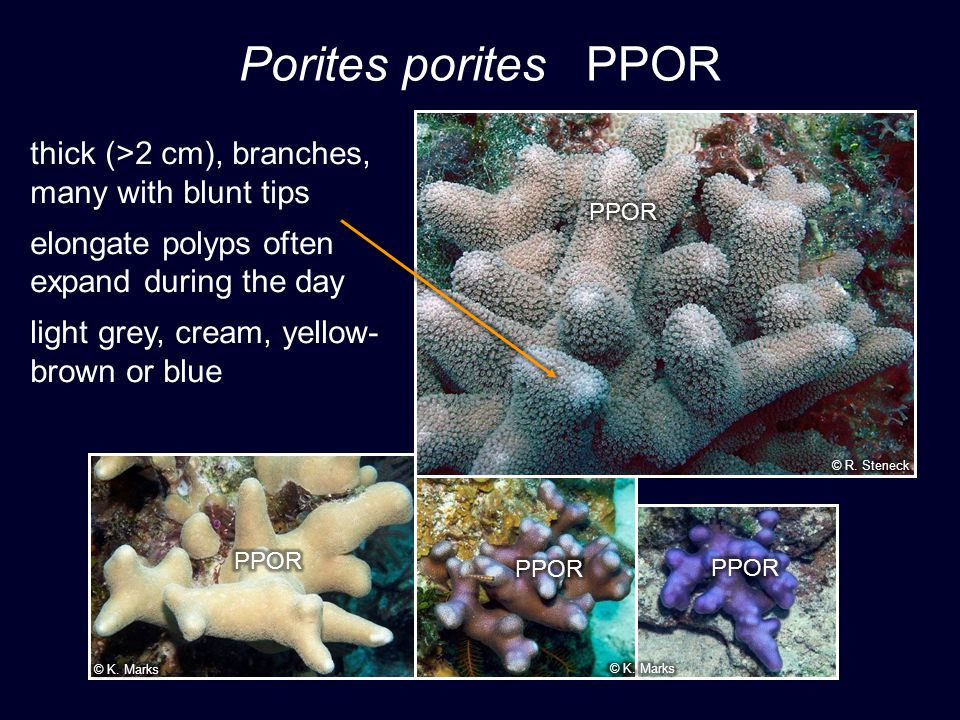 Porites porites PPOR thick (>2 cm), branches, many with blunt tips elongate polyps often expand during the day light grey, cream, yellow- brown or blue