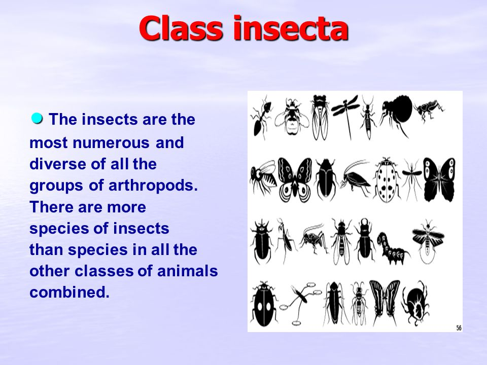 Class insecta ● ● The insects are the most numerous and diverse of all the groups of arthropods.