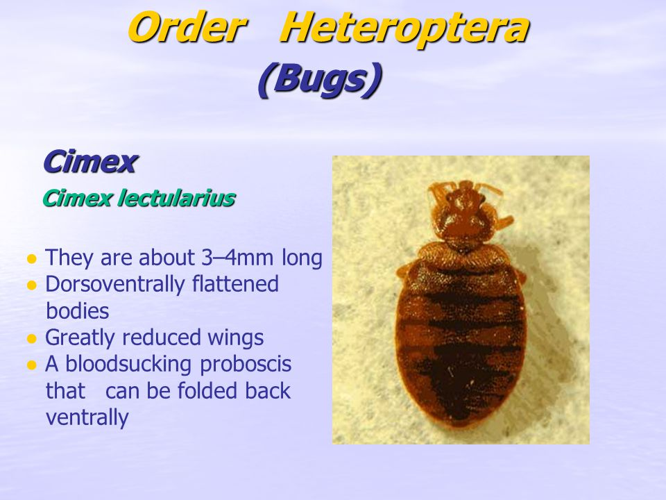 Order Heteroptera (Bugs) Order Heteroptera (Bugs) Cimex Cimex lectularius ● They are about 3–4mm long ● Dorsoventrally flattened bodies ● Greatly redu