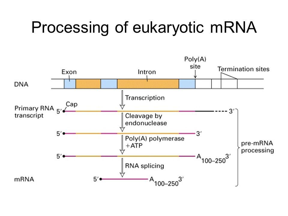 Processing of eukaryotic mRNA