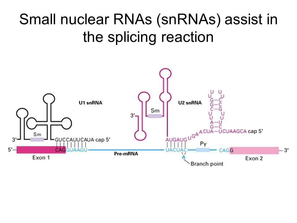 Small nuclear RNAs (snRNAs) assist in the splicing reaction
