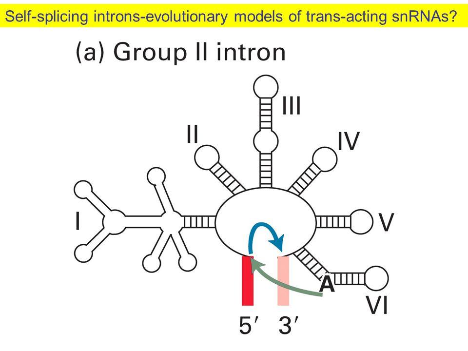 Self-splicing introns-evolutionary models of trans-acting snRNAs