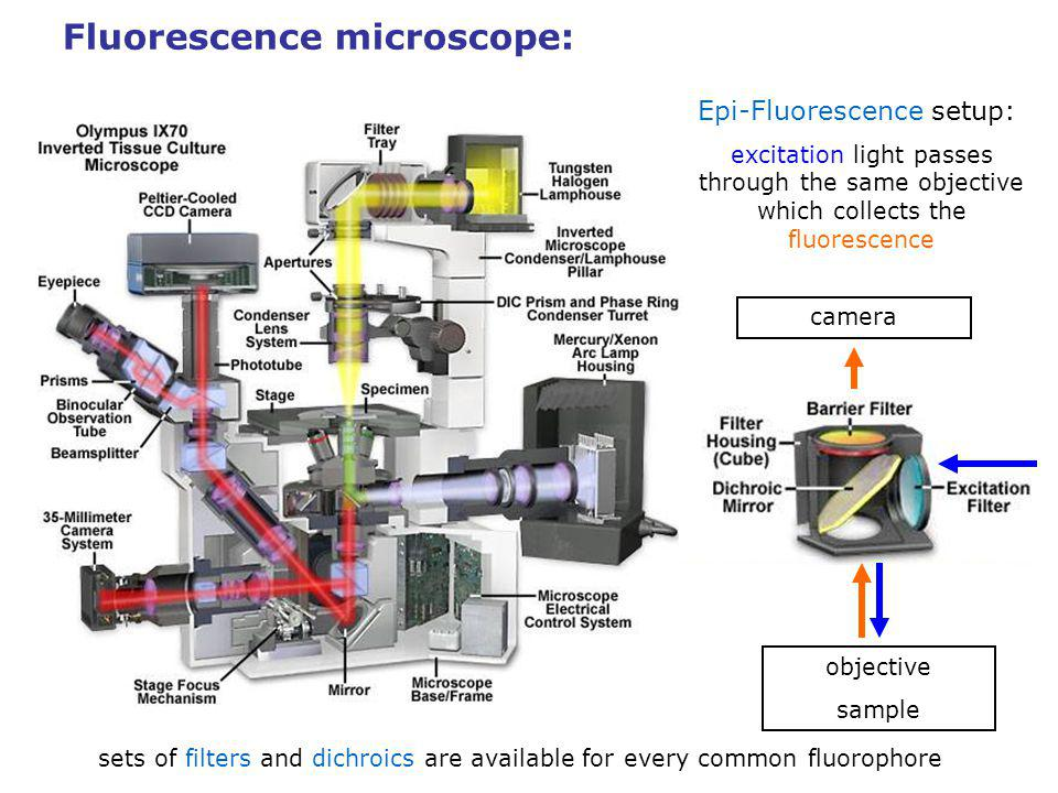 Fluorescence microscope: Epi-Fluorescence setup: excitation light passes through the same objective which collects the fluorescence objective sample camera sets of filters and dichroics are available for every common fluorophore