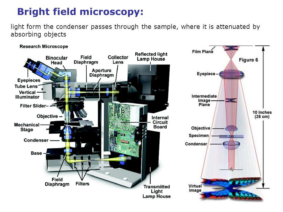 Bright field microscopy: ocular light objective light form the condenser passes through the sample, where it is attenuated by absorbing objects Magnification = M(objective) x M(eyepiece) the image formed by the objective in its back focal plane (the intermediate image plane) contains all information accessible by the microscope.