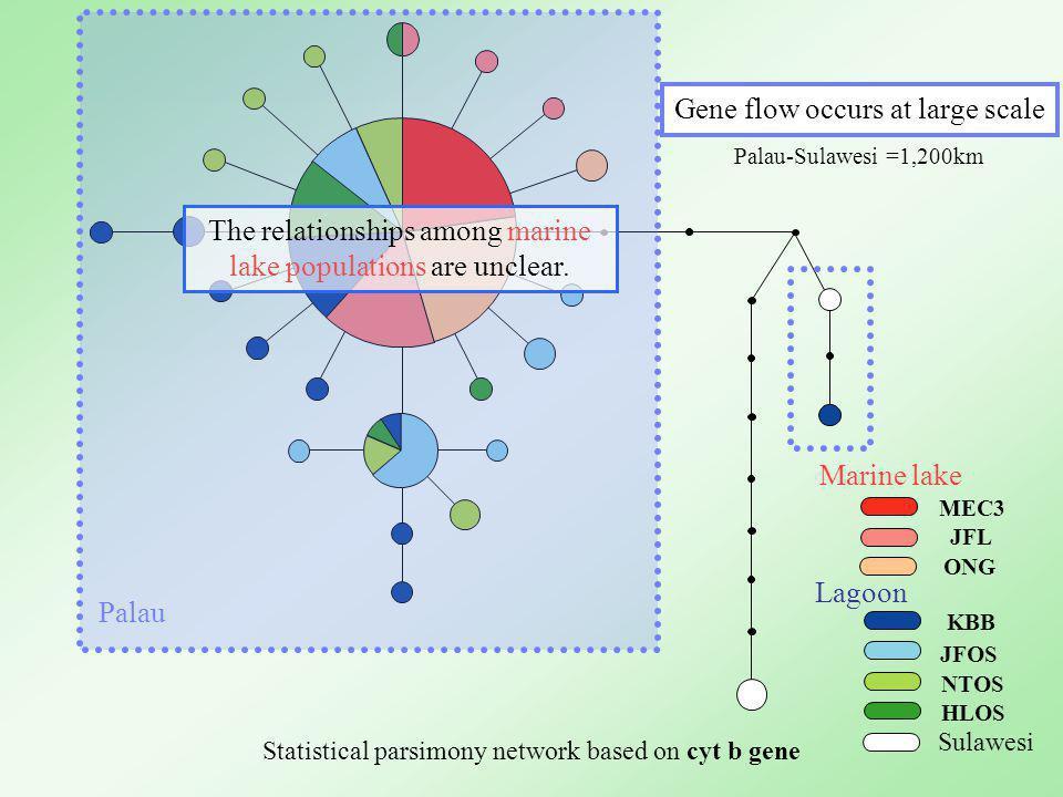 JFL MEC3 KBB JFOS NTOS HLOS ONG Marine lake Lagoon Statistical parsimony network based on cyt b gene Palau Gene flow occurs at large scale Palau-Sulawesi =1,200km The relationships among marine lake populations are unclear.
