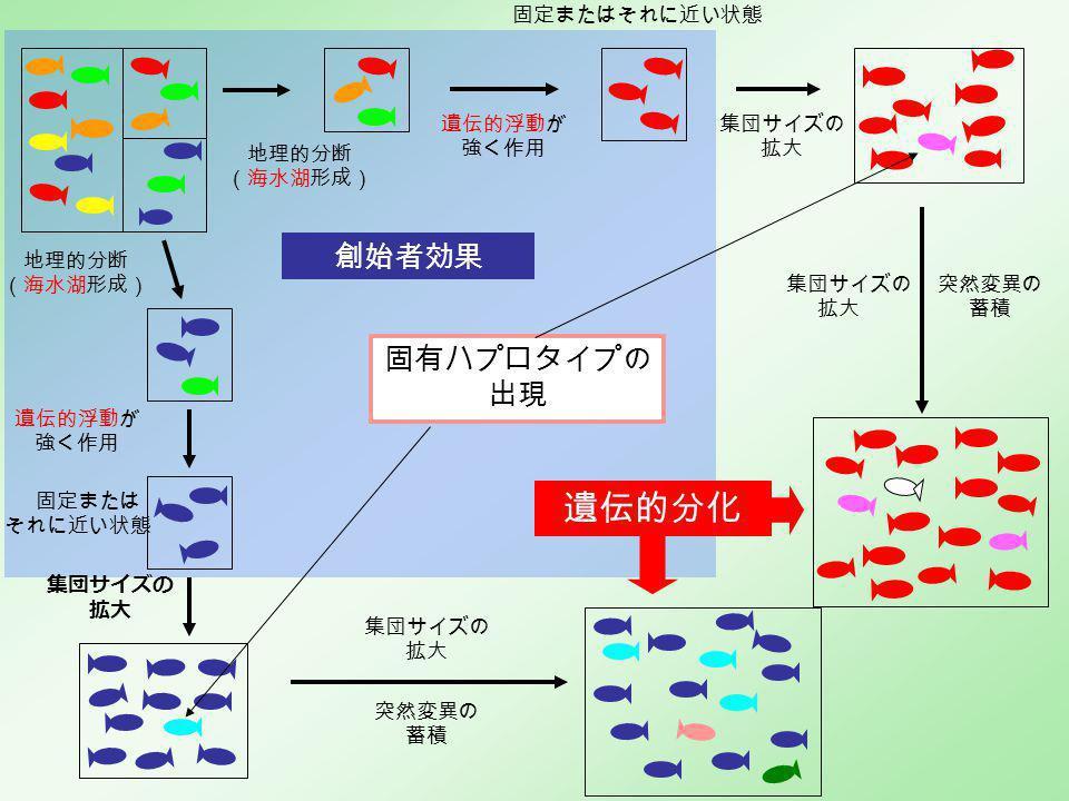 創始者効果 地理的分断 (海水湖形成) 地理的分断 (海水湖形成) 遺伝的分化 固定またはそれに近い状態 遺伝的浮動が 強く作用 遺伝的浮動が 強く作用 固定または それに近い状態 集団サイズの 拡大 集団サイズの 拡大 固有ハプロタイプの 出現 集団サイズの 拡大 集団サイズの 拡大 突然変異の 蓄積 突然変異の 蓄積