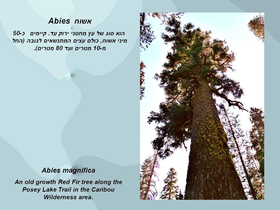 Abies magnifica An old growth Red Fir tree along the Posey Lake Trail in the Caribou Wilderness area.