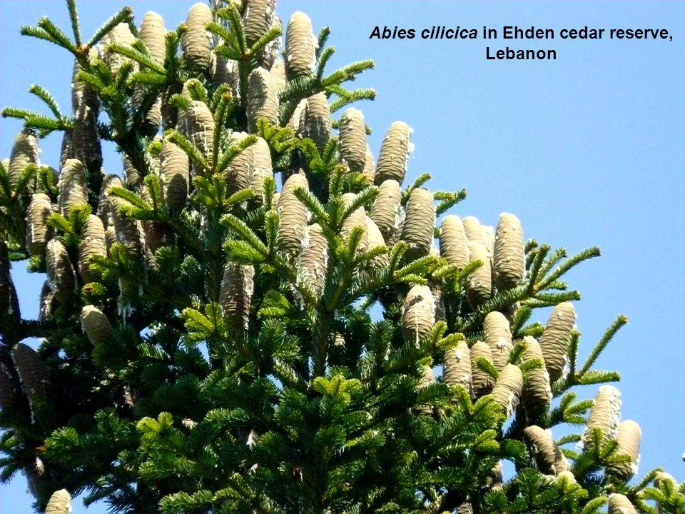 Abies cilicica in Ehden cedar reserve, Lebanon