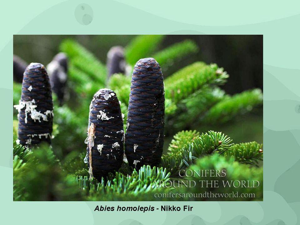 Abies homolepis - Nikko Fir