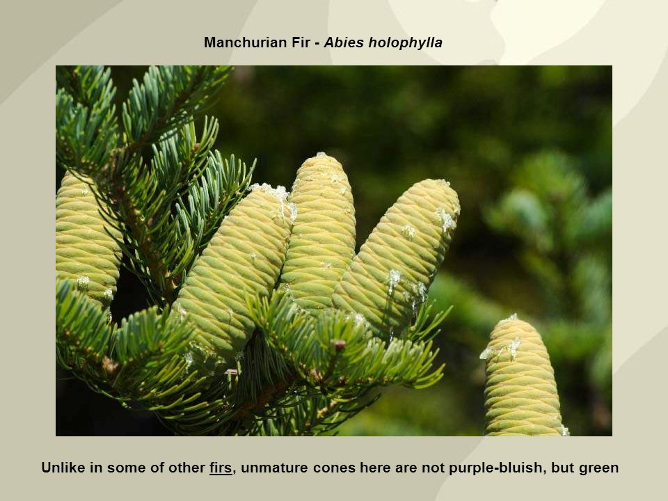 Unlike in some of other firs, unmature cones here are not purple-bluish, but greenfirs Manchurian Fir - Abies holophylla