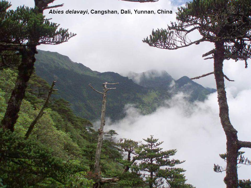 Abies delavayi, Cangshan, Dali, Yunnan, China