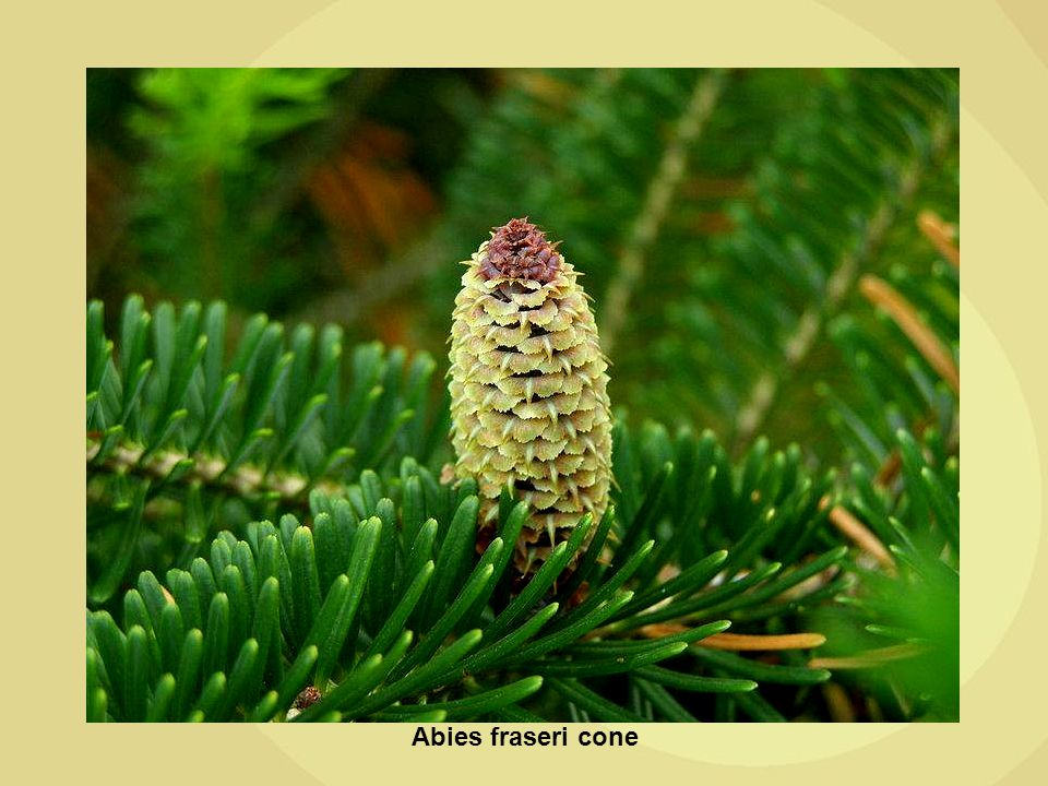 Abies fraseri cone