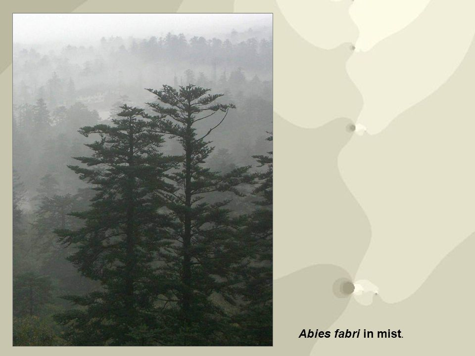 Abies fabri in mist.
