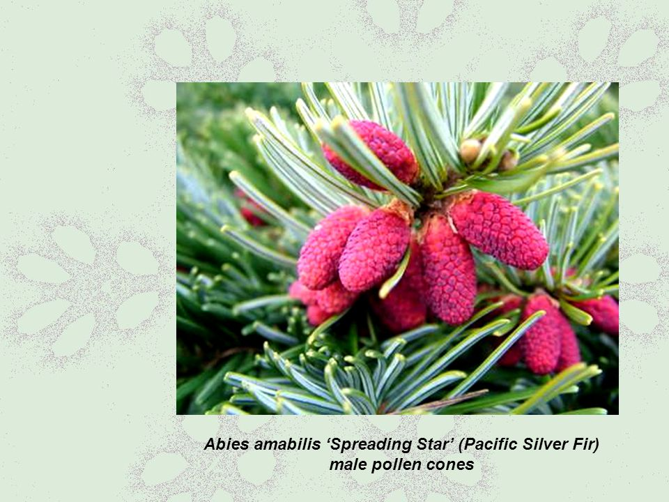 Abies amabilis 'Spreading Star' (Pacific Silver Fir) male pollen cones