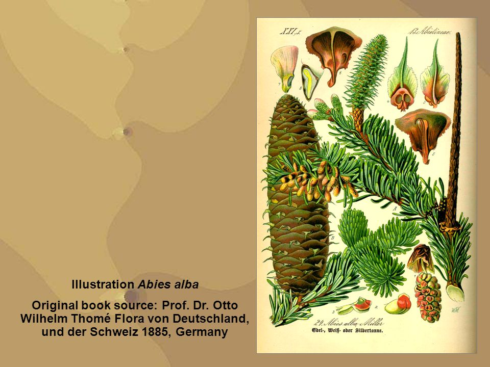 Illustration Abies alba Original book source: Prof.