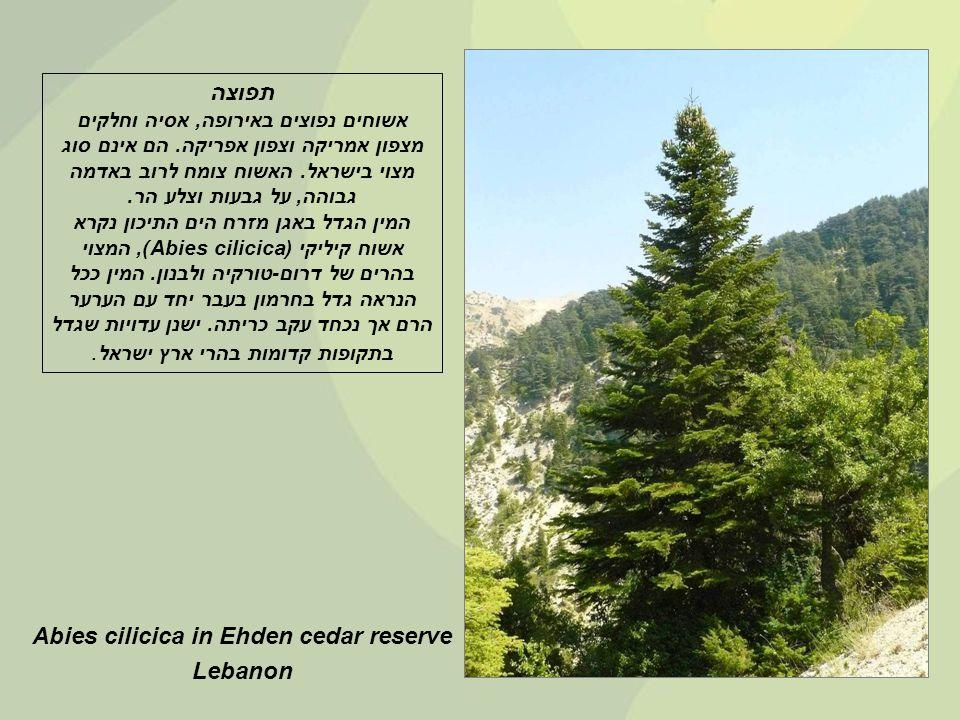 Abies cilicica in Ehden cedar reserve Lebanon תפוצה אשוחים נפוצים באירופה, אסיה וחלקים מצפון אמריקה וצפון אפריקה.