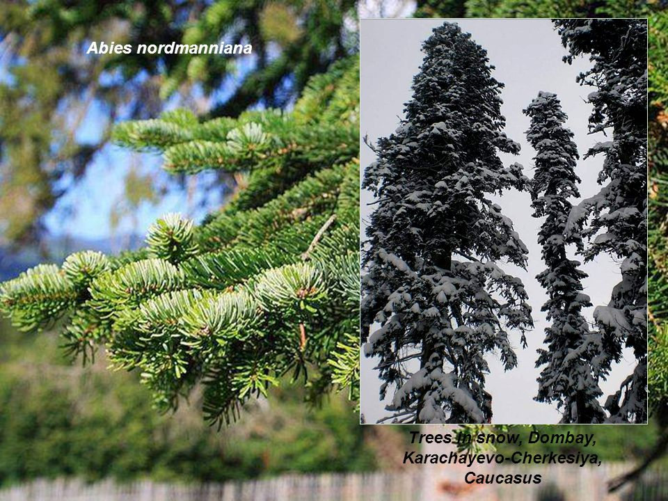 Trees in snow, Dombay, Karachayevo-Cherkesiya, Caucasus Abies nordmanniana